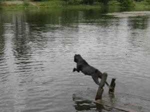 собака кане корсо прыгает в воду