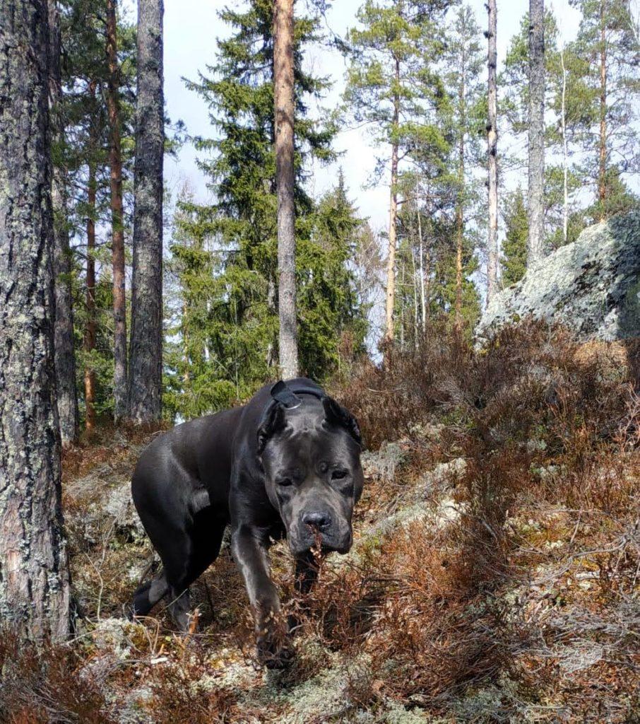 кане корсо в лесу