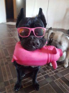 щенок кане корсо с игрушкой